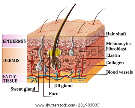 Skin anatomy diagram with description. Illustration of skin cross section  - stock photo