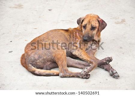 Skin disease dog  - stock photo