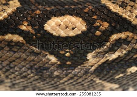 Skin of Boa constrictor - stock photo
