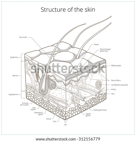 diagram of sweat glands in the human body  diagram  free