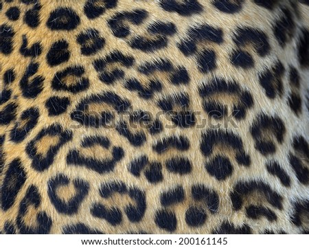 Skin young Amur leopard spotted in nature