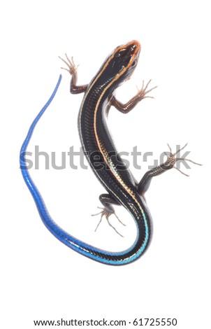 skink lizard isolated on white background - stock photo