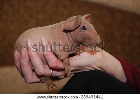 skinny guinea pig - stock photo