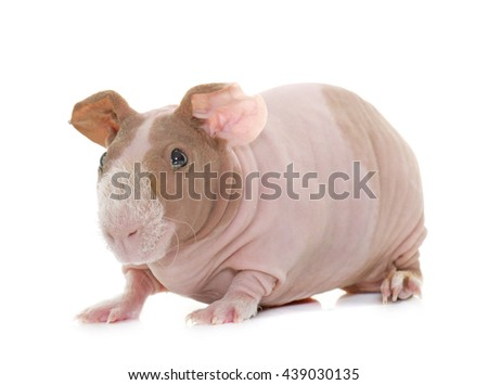 skinny guinea pig in front of white background - stock photo