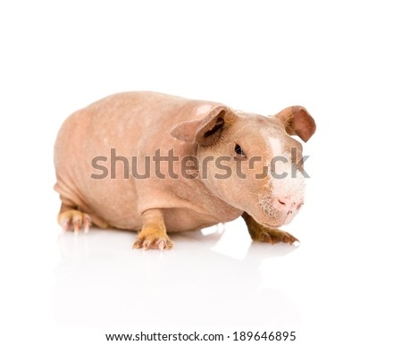 skinny guinea pig lying in front. isolated on white background - stock photo