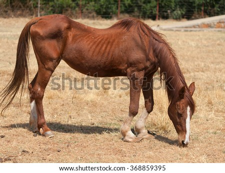 Skinny horse in the pasture in the summer