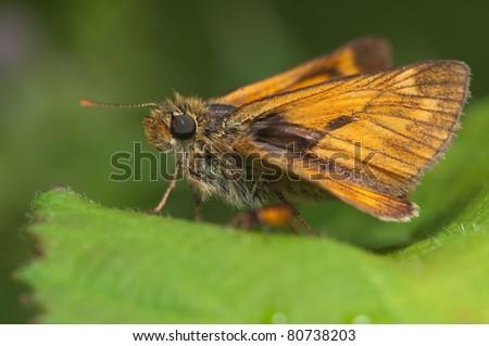 skipper butterfly on nettles - stock photo