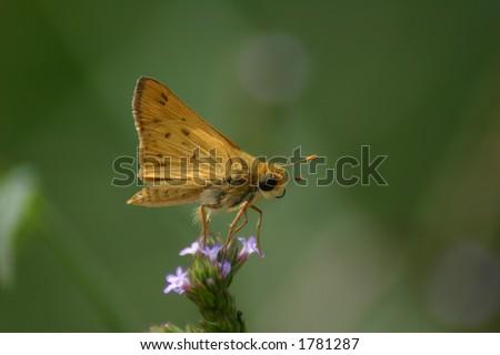Skipper butterfly perch - stock photo