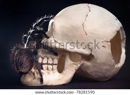 Skull And Tarantula On Black. Brachypelma albopilosum is a species of tarantula known commonly as the Honduran curlyhair. - stock photo