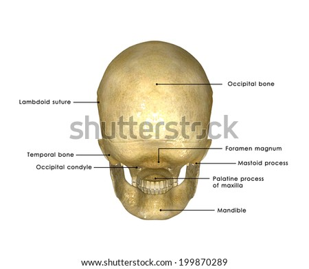 Skull back - stock photo