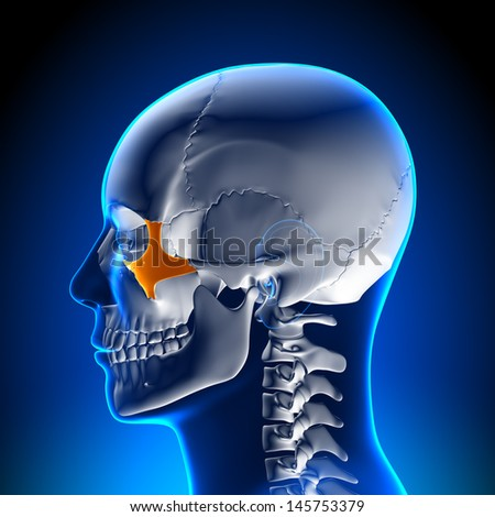 Skull / Cranium - Zygomatic bone - Human Anatomy - stock photo