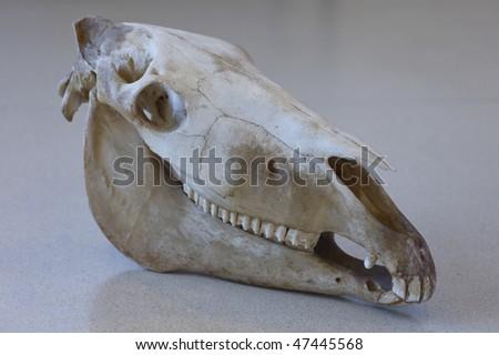 Skull horse - stock photo