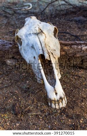 Skull in the desert - stock photo