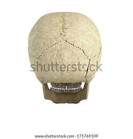Skull isolated on white background from back side
