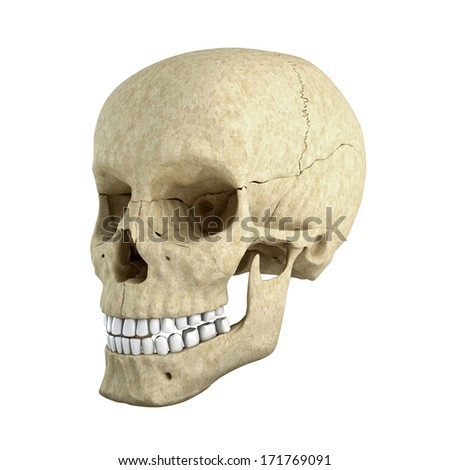 Skull isolated on white background from side
