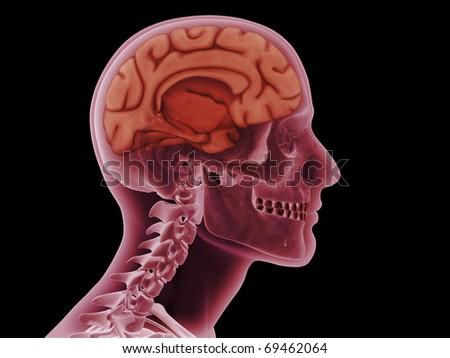 Skull, Left Hemisphere of Brain - stock photo
