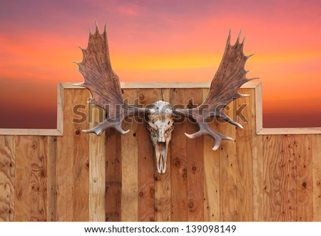 Skull Moose front view  hung on wooden wall - stock photo