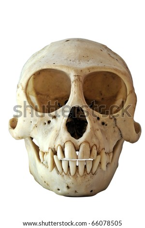 Skull of a Black-Faced Vervet Monkey Chlorocebus pygerythrus (formerly Cercopithecus aethiops) - stock photo