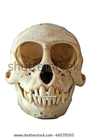 Skull of a Black-Faced Vervet Monkey Chlorocebus pygerythrus (formerly Cercopithecus aethiops) - stock photo