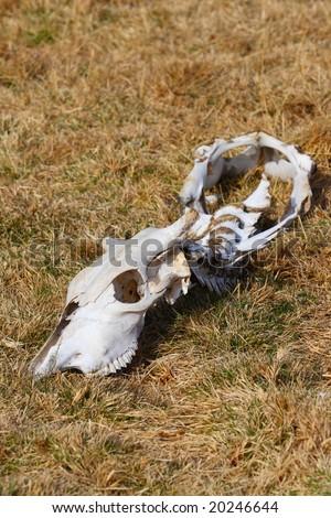 Skull of a dead animal - stock photo