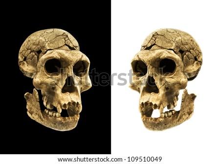 skull of a human ancestor - stock photo