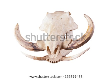 skull of an African Wart hog isolated on a white background - stock photo