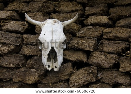 skull of cow in a village yard - stock photo
