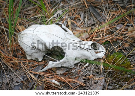 skull of the animal in the forest - stock photo