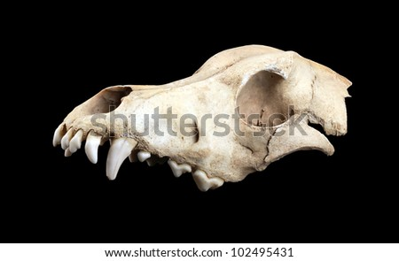 Skull of the dog, isolated on black - stock photo