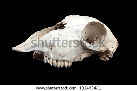 Skull of the Roe, isolated on black - stock photo
