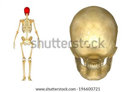 Skull posterior view  - stock photo