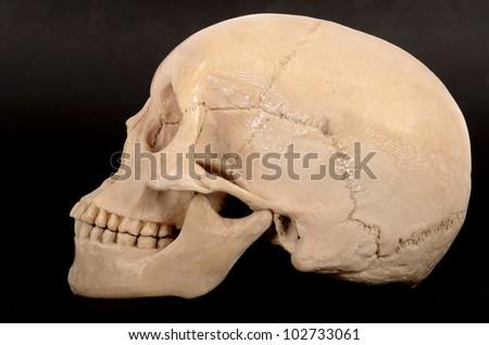 Skull Right View - stock photo