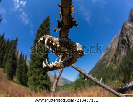 Skull terrible animal, ritually suspended - stock photo