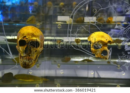 Skulls from the museum in Sterkfontein, South Africa - stock photo