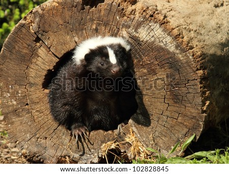 Skunk In A Log - stock photo