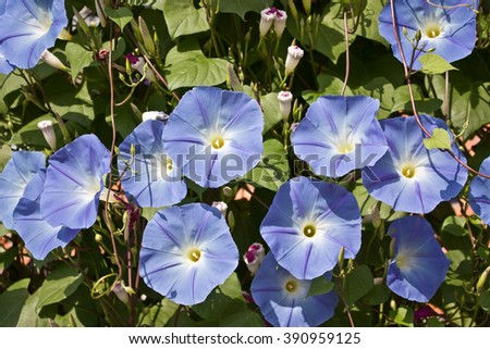 Sky blue morning glory in a garden - stock photo