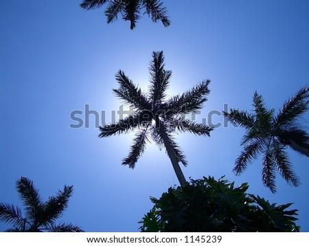 SKY PALMS. Royal Palm Reserve, Negril, west Jamaica, Caribbean - stock photo