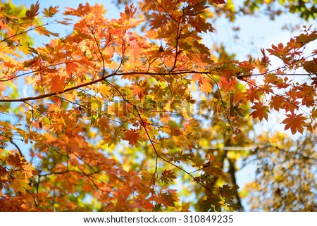 Sky through the autumn maple  leaves - stock photo