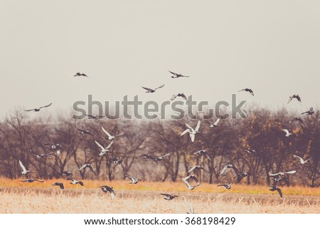 Sky with Birds in Autumn. Field of Grass, Forest Trees and Flying Birds. Pigeons Fly After Harvesting and Plowing Fields. Natural Background with Animals - stock photo