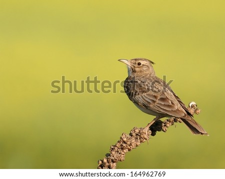 Skylark (Alauda arvensis) perched on a twig - stock photo