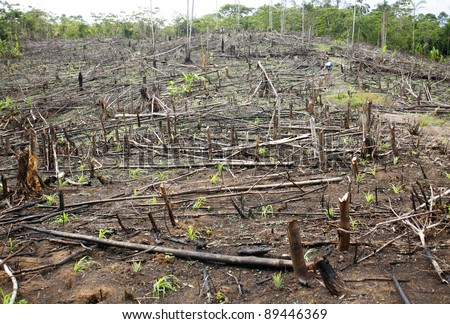 Slash and burn cultivation in the Peruvian Amazon, clearing in the rainforest planted  with maize seedlings. - stock photo