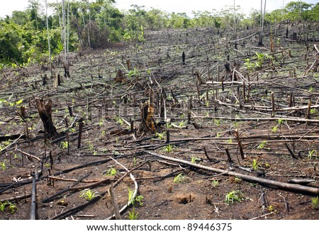 Slash and burn cultivation in the Peruvian Amazon, clearing in the rainforest planted  with maize seedlings.