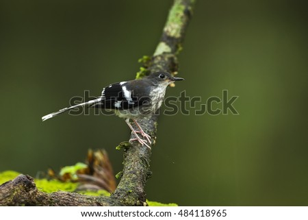 Slaty-backed forktail juvenile in the nature.