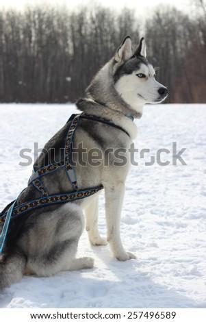 X Back Dog Sledding Harness, X, Get Free Image About ...