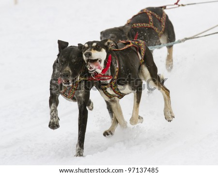 sled dogs - stock photo