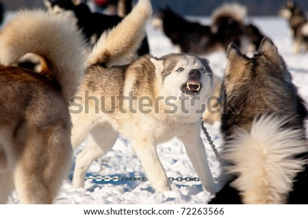 Sled Dogs before Race - stock photo