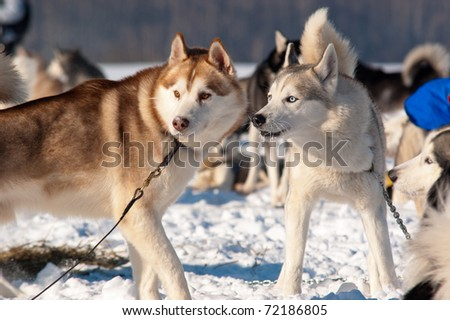 Sled Dogs Ready for the Race - stock photo
