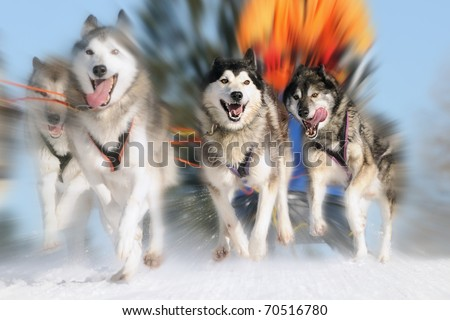 Sledge dogs in speed racing - stock photo