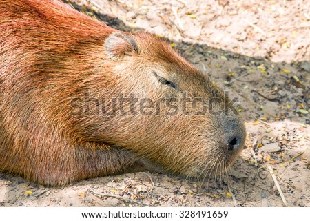 sleep capybara - stock photo