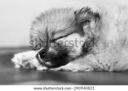 Sleep dog black and white tone, Classical sleep dog - stock photo